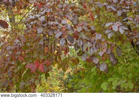 Purple, Red And Green Leafage And Black Berries Of Common Dogwood In October