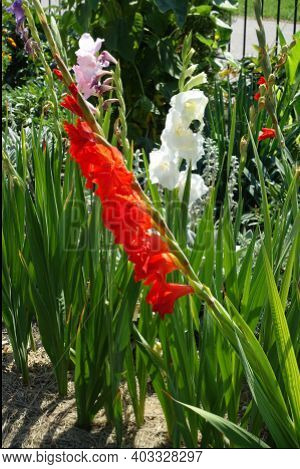 Red. Pink, White And Purple Flowers Of Gladiolus In Mid August