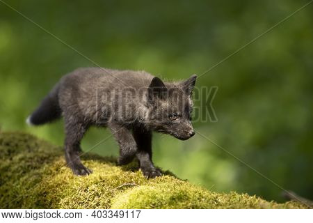 Red Fox, Vulpes Vulpes, Small Young Cub In Forest On Moss Stump. Little Wild Predator In Natural Env