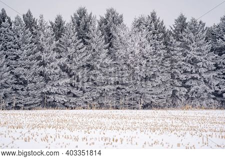 Line Of Large Pine Trees Covered In Rime Ice In A Minnesota Winter