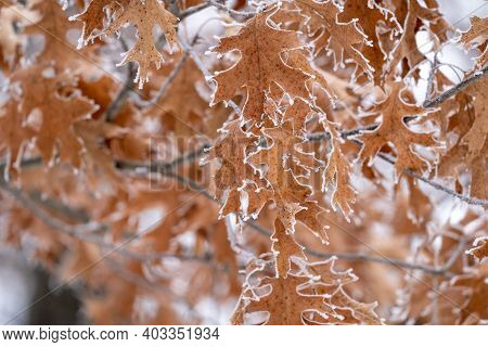 Oak Leaf Covered In Rime Ice - Selective Focs, Shallow Depth Of Field In Minnesota