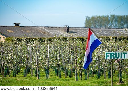 Springtime In Fruit Region Betuwe In Netherlands, Dutch Flag And Blossoming Orchard With Apple, Pear