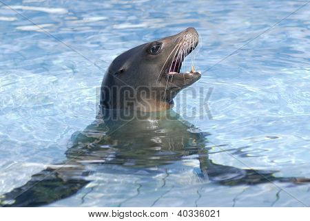 Portrait California Sea Lion