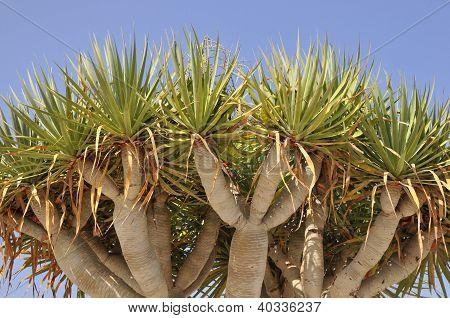 Canary Islands Dragon Tree