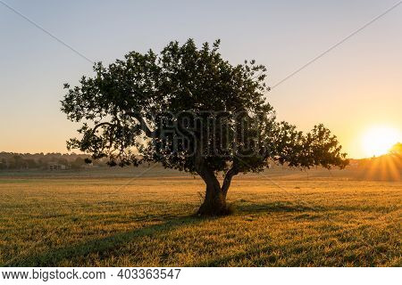 Carob Tree (ceratonia Siliqua) In A Field On The Island Of Mallorca At Sunrise. Unfocused Background