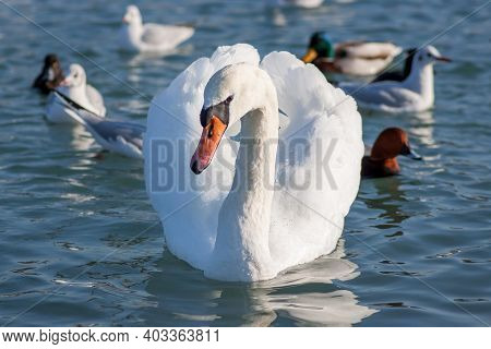 A White Mute Swan (cygnus Olor) Swims In The Sea. Ducks And Other Waterfowl Swim Nearby. Swans Are V