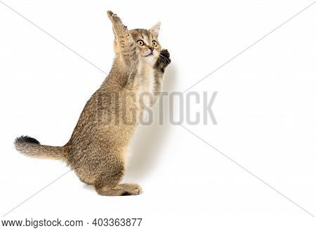 Kitten Golden Ticked British Chinchilla Straight On A White Isolated Background. Cat Stands On Its H