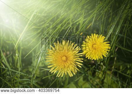 Macro Photography Of A Dandelion Plant In The Sunshine. Dandelion Is A Plant With A Fluffy Yellow Bu