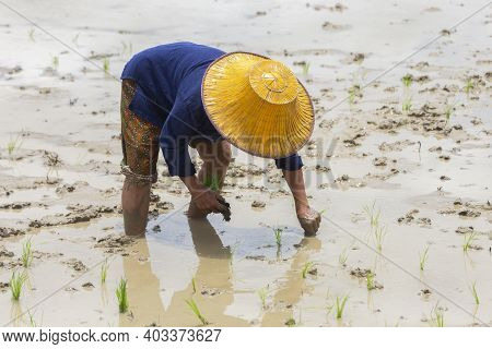 Asian Farmer Planting Rice On Organic Paddy Rice Field In Farmland. Farmers Divide Young Rice Plants