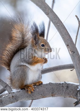 The Squirrel Sits On Tree In The Winter Or Late Autumn. Eurasian Red Squirrel, Sciurus Vulgaris.