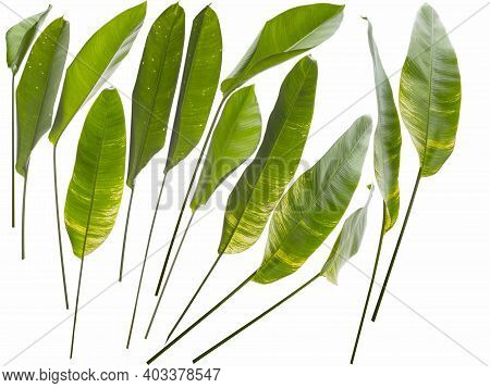 Collection Of Different Size Of Heliconia Leafs On White Back To Be Cut Out