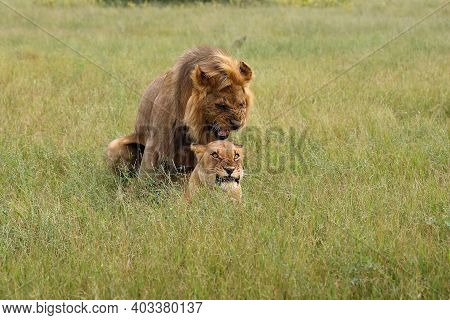 Southwest African Lion Or Katanga Lion (panthera Leo) Mating In The Savanna. Mating Couple In The Gr