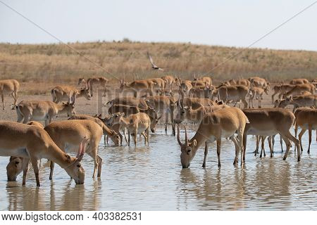 Herd Saiga Antelopes Or Saiga Tatarica At Water Place In Steppe