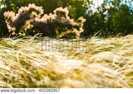 Stipa Feather Grass Or Grass Needle Nassella Tenuissima In Golden Sunset Light