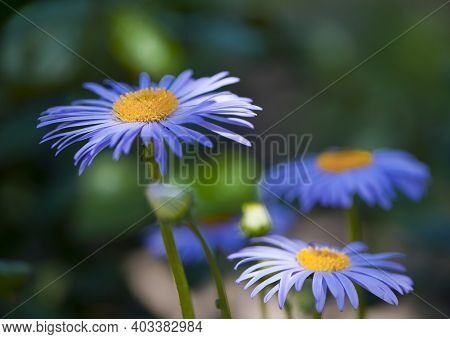 Flowers Blue Chamomile. Purple Meadow Flowers, Large Chamomile In The Garden, In The Flowerbed. Clos