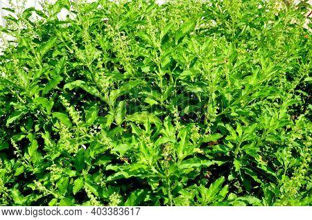 Basil, Thai Basil, Sweet Basil (ocimum Sanctum) Tree In The Garden