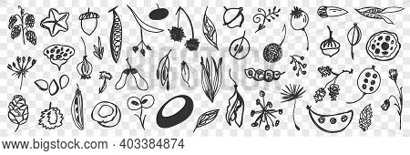 Various Beans Flowers And Cones Doodle Set. Collection Of Hand Drawn Pine Cones, Fresh Beans, Flower