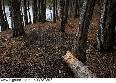 Fallen Trees In A Pine Forest. Old Dilapidated Tree Trunks Close-up. A Path In A Pine Forest Through