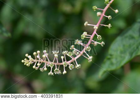 American Pokeweed - Latin Name - Phytolacca Americana