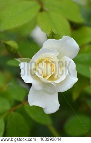 White Iceberg Rose Flower - Latin Name - Rosa Korbin