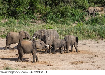 African Elephant (loxodonta Africana) Herd In A Dry River Bed Digging For Water In Kruger National P