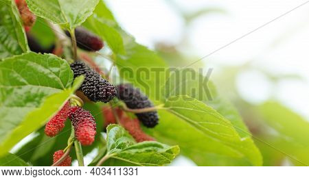 Organic Mulberry Fruit Tree And Green Leaves. Black Ripe And Red Unripe Mulberries On The Branch Of