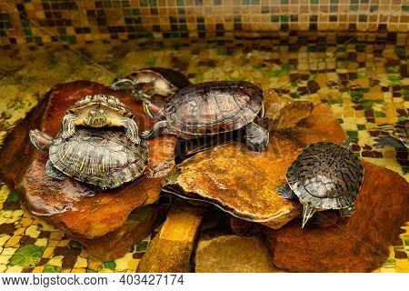 Red-eared Turtles. Aka Pond Slider Trachemys Scripta Elegans Sunbathe On A Rock In The Water.