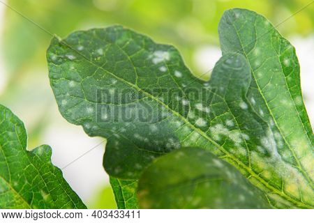 Melon Green Leaf Has Destroyed By Powdery Mildew Of Melon