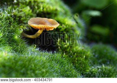 Clitocybe Clavipes Mushroom In Macin Mountain In Romania