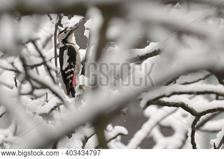 Great Spotted Woodpecker On Winter Snow Tree