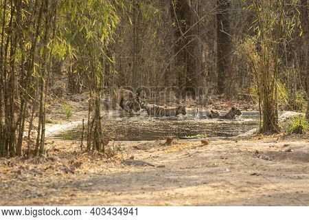 Wild Male Tiger Quenching Thirst And Taking Care Of Playful Cubs In Water At Magdhi Zone Of Bandhavg