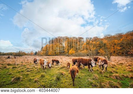 Hereford Cattle On A Meadow In Autumn With Colorful Golden Trees In The Background
