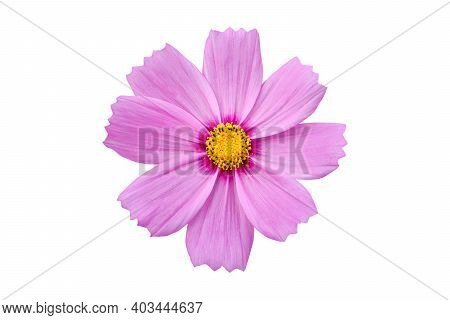 Pink Cosmo Flowers Isolate On White Background The Flowers Are Produced In A Capitulum With A Ring O
