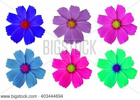 Soft And Blurry Cosmo Flowers Isolate On White Background The Flowers Are Produced In A Capitulum Wi
