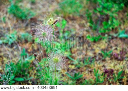 Alpine Anemone Fruits. Pulsatilla Alpine Plant, Growing On The Meadow. Spring Nature.