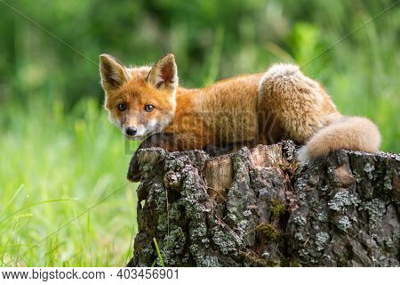 Cute Red Fox Cub Lying On A Tree Stump In Springtime Forest.