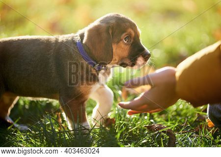 Side View Of Puppy Asking On Hands. Concept Of Communication With Favourite Pet.
