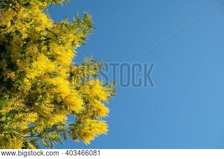 Blooming Acacia Dealbata Mimosa Tree Against Blue Cloudless Sky On Sunny Clear Day. Place For Your T