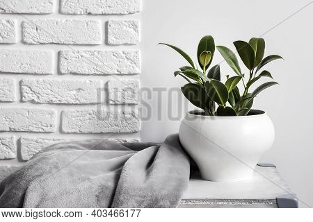 Young Rubber Plant (ficus Elastica) In White Flower Pot With Gray Soft Fleece Blanket Near It. White