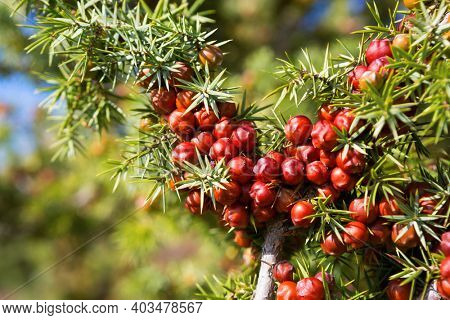 Close-up of  Juniper (Juniperus oxycedrus) branch with mature  orange-red seed cones in sunlight. Selective Focus. Shallow DOF.