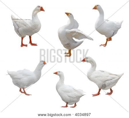 "Six geese isolated on white from christmas song ""twelve days of christmas"" poster"