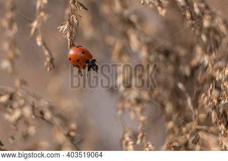 A Humorous Image Of Seven-spotted Ladybug Looking Like Its Reaching Down To Lend A Hand. Fall Colors
