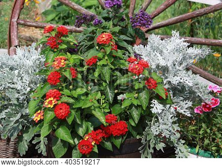 A Pot Of Red And Orange Lantana With Purple Heliotrope And Other Annuals Sitting In Front Of A Wagon