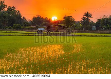 Old Wood Cottage In Green Field Cornfield In Asia Country Agriculture Harvest With Sunset Sky Backgr