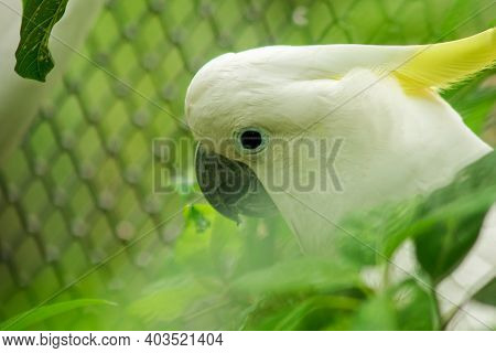 Sulfur-crested Cockatoo In A Zoo Cage.