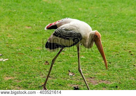 Painted Storks On The Lawn.