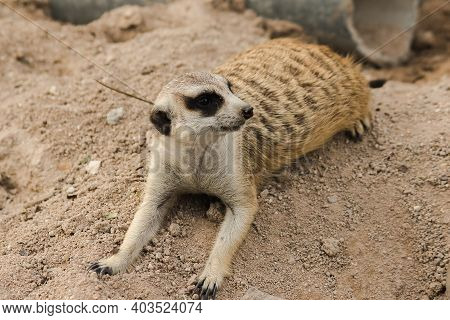 Meerkat In The Sand.. To Examine And Smell