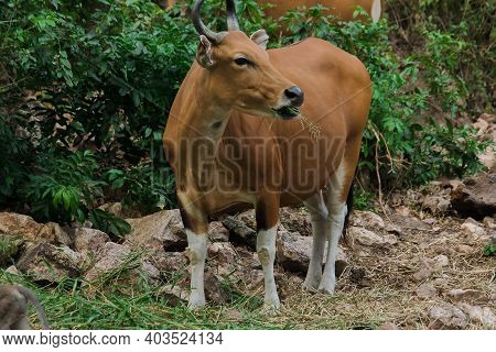 Banteng Was Eating A Young Grass, A Young Bamboo Leaf.