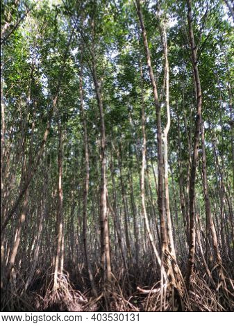 Mangrove Forest Conservation In Bali. The Southern Part Of Denpasar Is Naturally Protected By A Gree