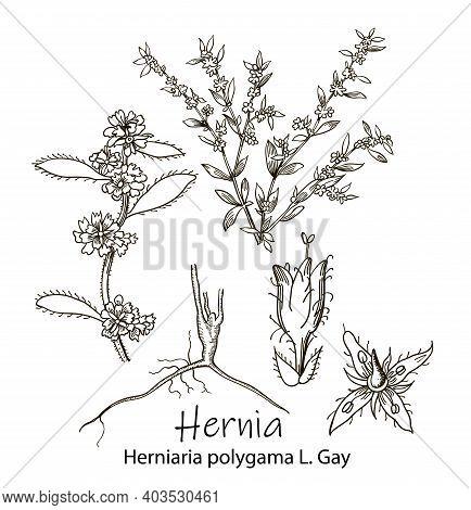 Hernia, Vintage Engraved Illustration. More Realistic Botanical Illustration. Image For Your Design.